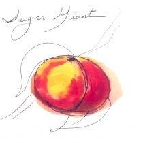 sugar giant peach tree