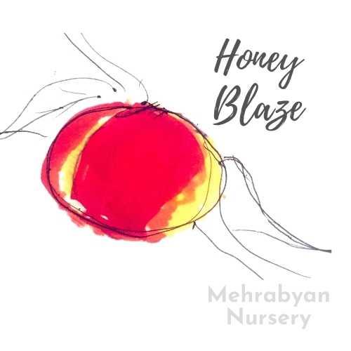 Honey Blaze Nectarine Tree
