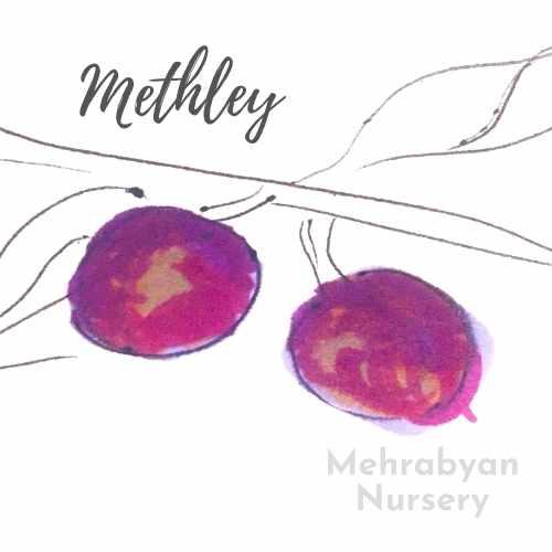 Methley Plum Tree