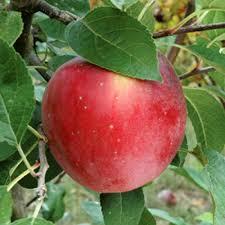 apple tree for sale