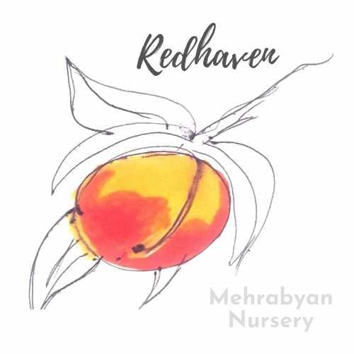 redhaven peach tree