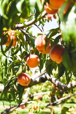 orange and red peach trees on tree branches