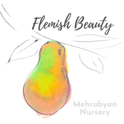 Flemish Beauty Pear Tree