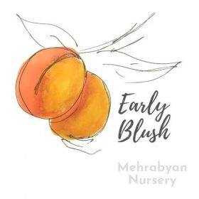 Early Blush Apricot Tree