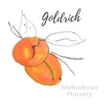 Goldrich Apricot Tree