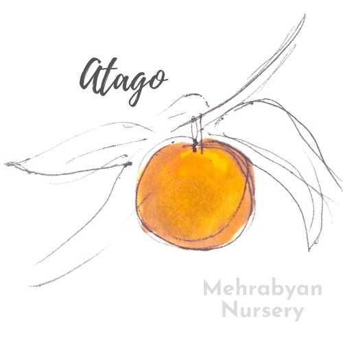 Atago Asian Pear Tree