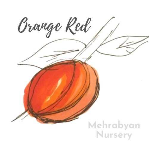 Orange Red Apricot Tree