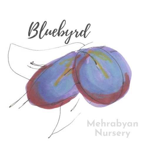 Bluebyrd Plum Tree