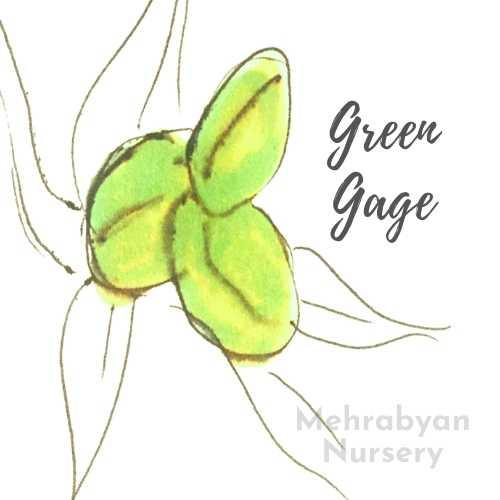 Green Gage Plum Tree