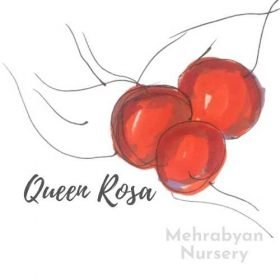 Queen Rosa Plum Tree
