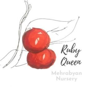 Ruby Queen Plum Tree