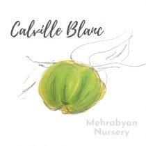 Calvil Blanc Apple Tree
