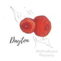 Dayton Apple Tree