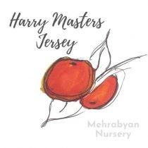 Harry Masters Jersey Apple Tree