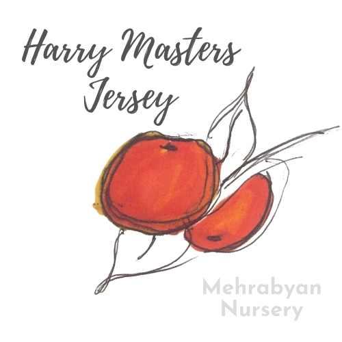 Harry Masters Jersey Apple Tree