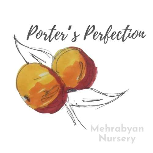 Porter's Perfection Apple Tree