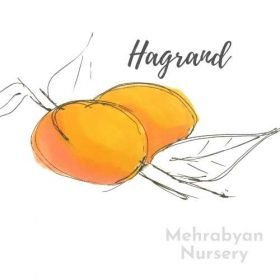 Hagrand Apricot Tree