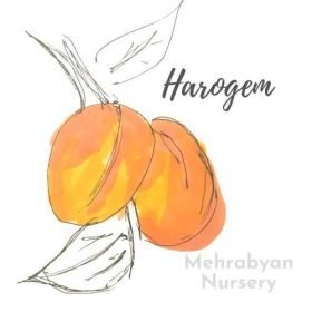 Harogem Apricot Tree