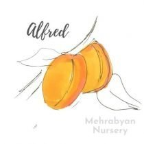 Alfred Apricot Tree