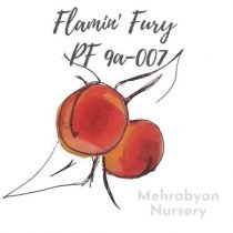 Flamin' Fury® PF 9A-007 Peach Tree