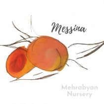 Messina (NJ352) Peach Tree