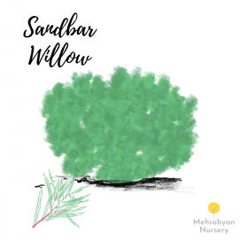 Sandbar Willow Tree