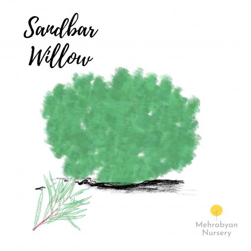 Sandbar Willow Tree