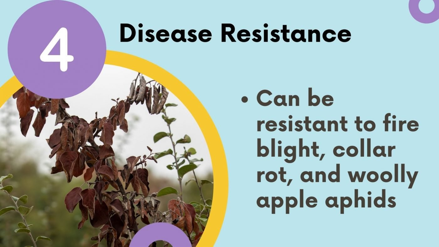 what is a rootstock: disease resistance