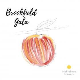Brookfield Gala Apple Tree