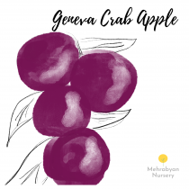 Geneva Crab Apple Tree