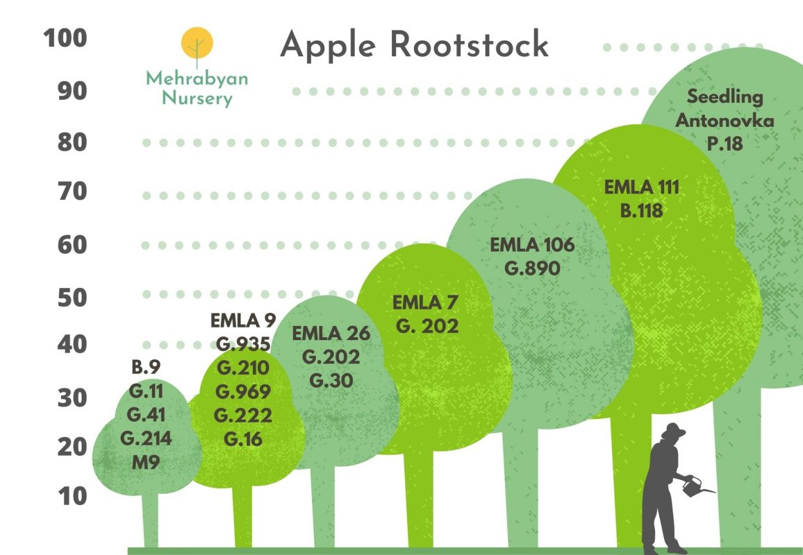 apple tree rootstock by size
