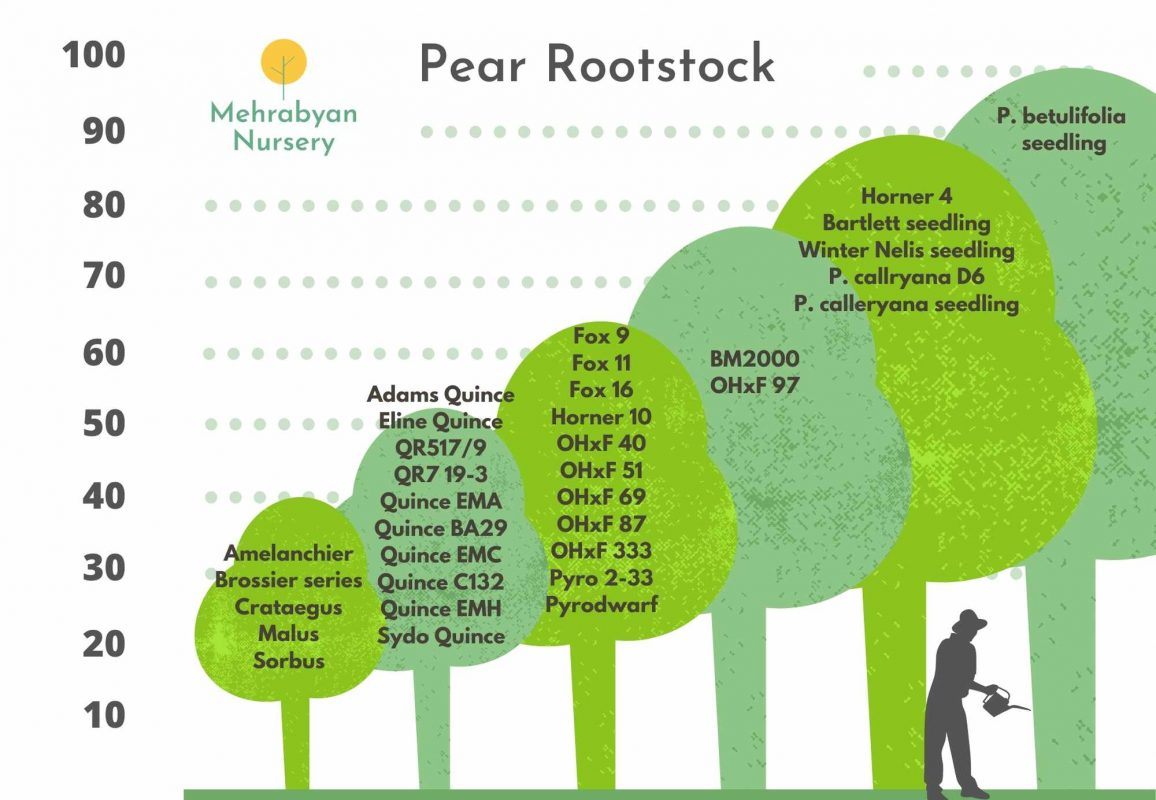 pear tree rootstocks by size