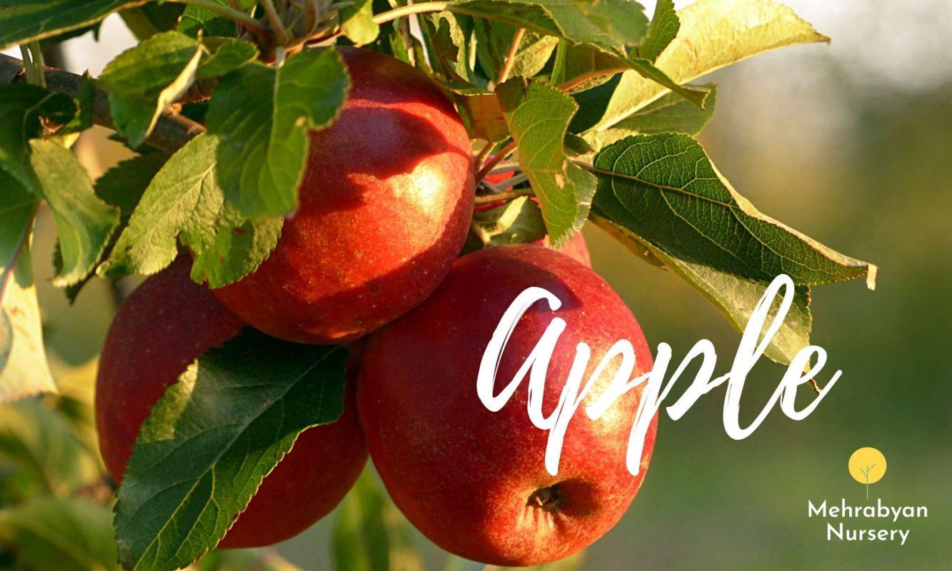 apple fast growing fruit trees