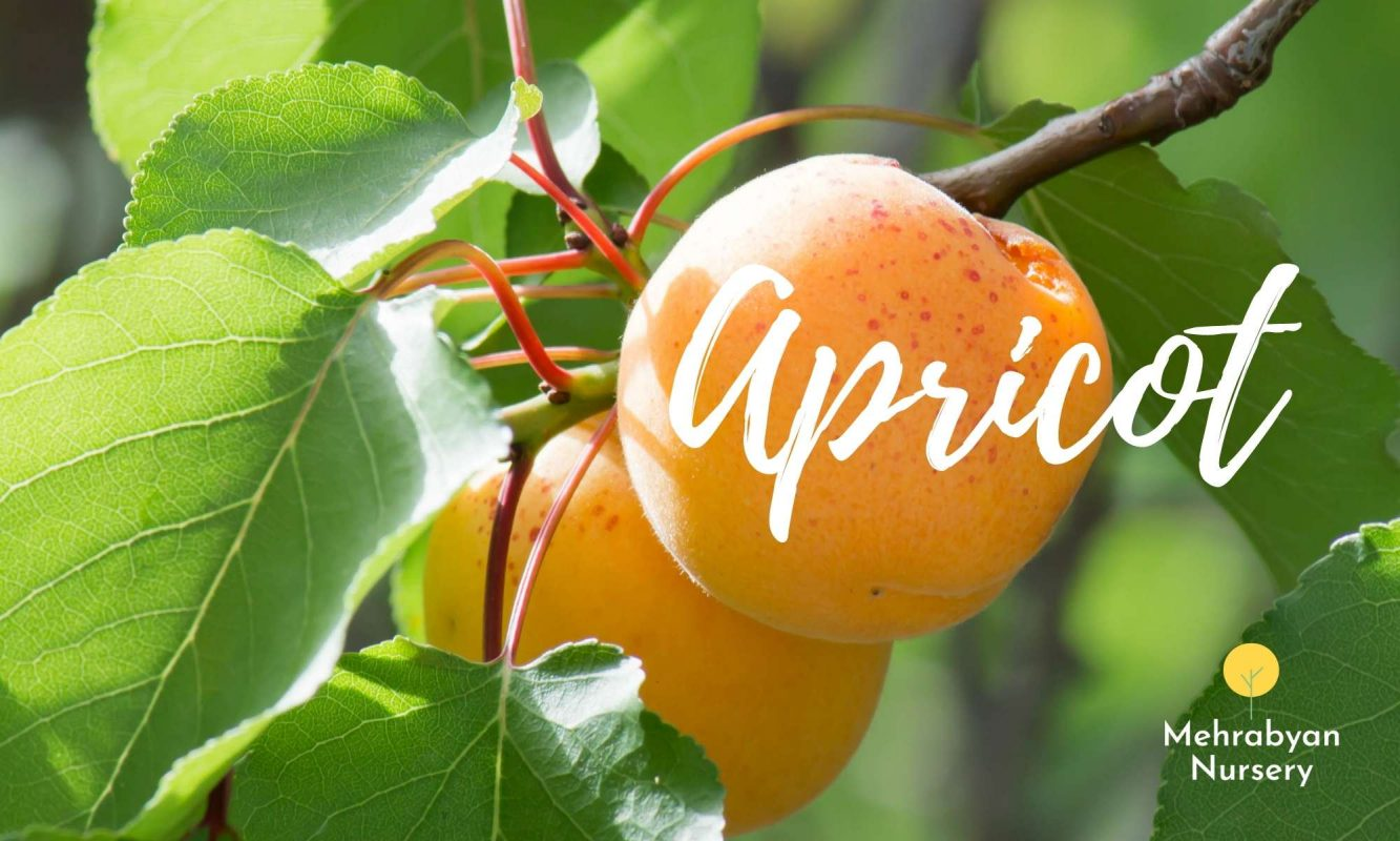 apricot fast growing fruit trees