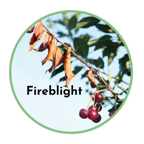 organic fruit tree pest management