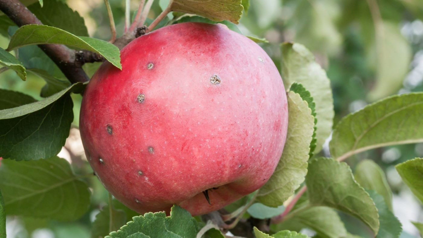 apple scab red apple