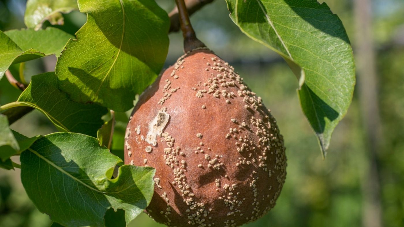 brown rot on pear tree