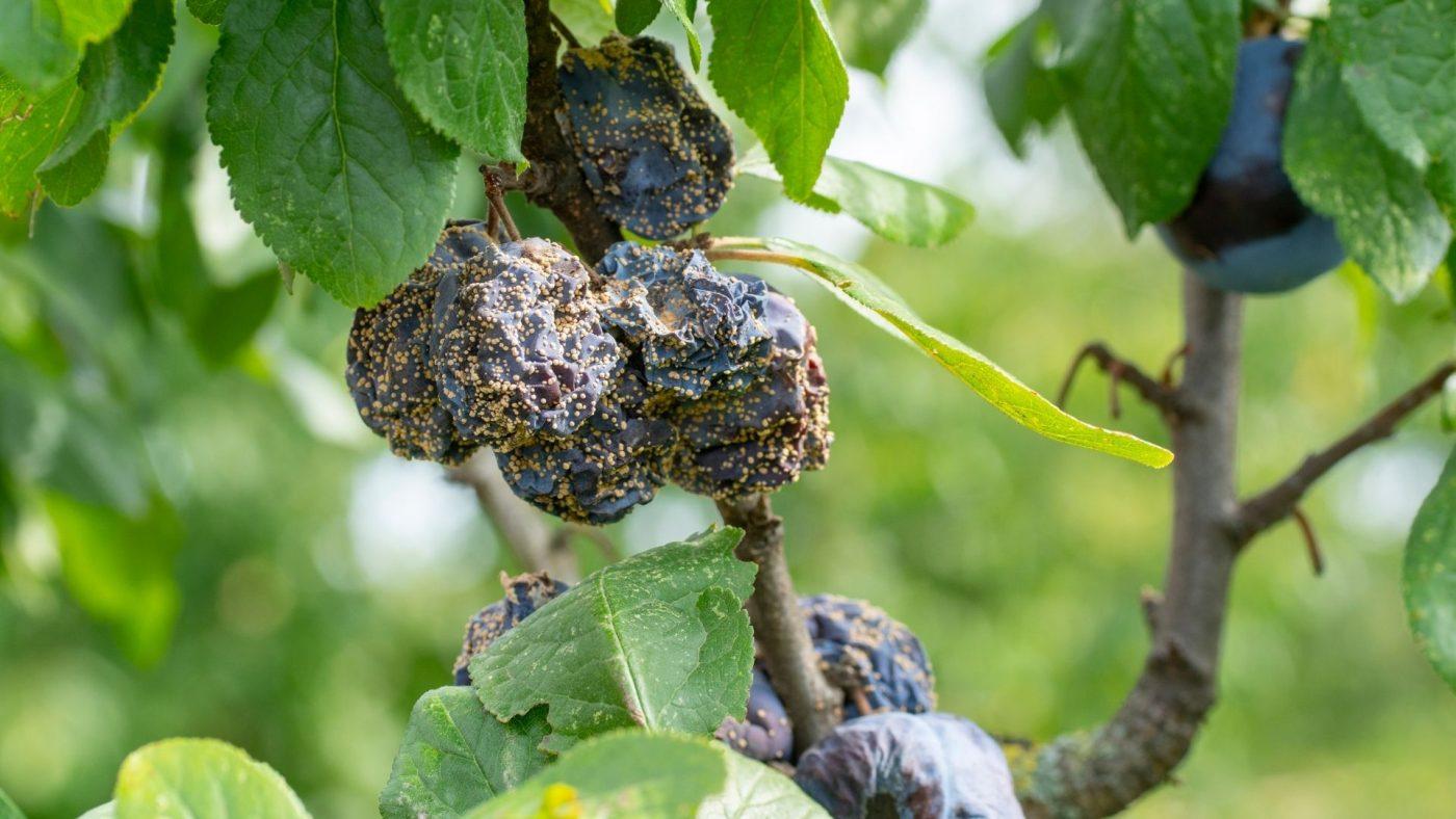 brown rot on plum tree