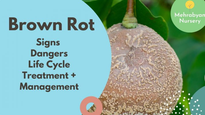 Brown Rot