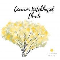 Common Witchhazel Shrub