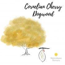 Cornelian Cherry Dogwood Tree