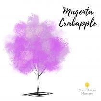 Magenta Crabapple Tree