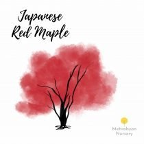 Japanese Red Maple Tree