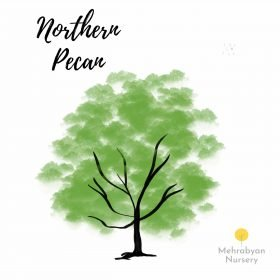Northern Pecan Tree