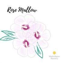 Rose Mallow Tree